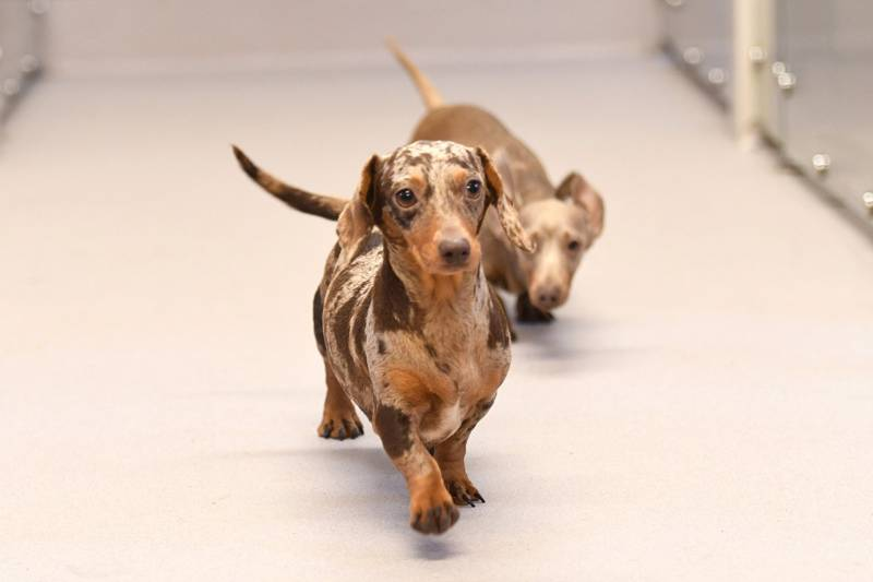 Altro create a relaxing environment for playful Dachshunds